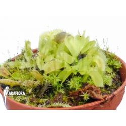 Dionaea muscipula Crocodile Starter
