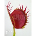 Venus flytrap 'Dionaea muscipula' 'Cropped teeth'