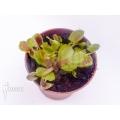 Venus flytrap 'Dionaea muscipula' 'Cup trap'