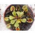 Venus flytrap 'Dionaea muscipula' 'Cup trap' 'M'