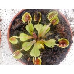 Dionaea muscipula 'Cup trap' 'M'