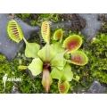 Venus flytrap 'Dionaea muscipula' 'Cup trap' starter'
