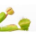 Venus flytrap Dionaea muscipula 'Cushion Pin'
