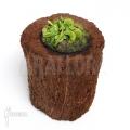 Venus flytrap 'Dionaea muscipula' 'Dentate' 'S'