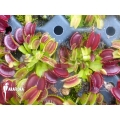 Venus flytrap 'Dionaea muscipula' 'Dingley giant' 'Starter'