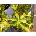 Venus flytrap Dionaea muscipula 'Double Trouble' starter