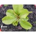 Venus flytrap 'Dionaea muscipula 'Dr Jos''