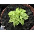 Venus flytrap 'Dionaea muscipula' 'Dr no trap'
