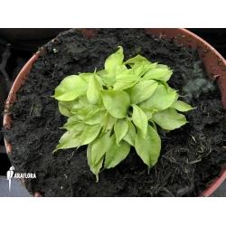 Dionaea muscipula 'Dr No Trap'