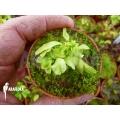 Venus flytrap 'Dionaea muscipula' 'Dr no trap' starter'