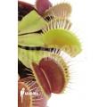 Venus flytrap 'Dionaea muscipula' 'Flexx'