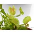 Venus flytrap 'Dionaea muscipula 'Freaky star'