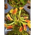 Venus flytrap 'Dionaea muscipula 'Freaky star' starter'