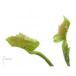 Dionaea muscipula 'Freaky Star'