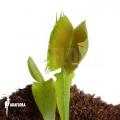 Venus flytrap 'Dionaea muscipula 'Fused tooth'