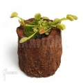 Venus flytrap 'Dionaea muscipula 'Fuzed tooth b'