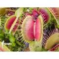 Venus flytrap 'Dionaea muscipula 'Fuzzy trap''
