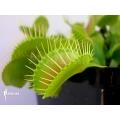 Venus flytrap 'Dionaea muscipula 'G16 slack'S giant'