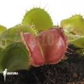 Venus flytrap 'Dionaea muscipula 'Galaxy'