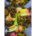 Venus flytrap 'Dionaea muscipula 'Galaxy' starter'