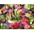 Dionaea muscipula 'Galaxy' Starter