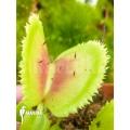 Venus flytrap 'Dionaea muscipula 'Giant clam'