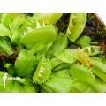 Venus flytrap 'Dionaea muscipula 'Green dog'