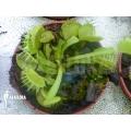 Venus flytrap 'Dionaea muscipula 'Green dog' 'M'