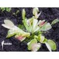 Venus flytrap 'Dionaea muscipula 'Green snow'