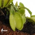 Venus flytrap 'Dionaea muscipula 'Green voodoo'