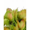 Venus flytrap 'Dionaea muscipula 'Gwenny''