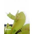 Venus flytrap Dionaea muscipula 'Hammerhead Shark'