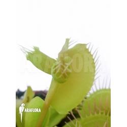 Dionaea muscipula 'Hammerhead Shark'