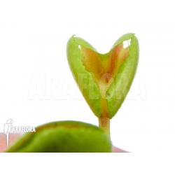 Dionaea muscipula 'Heartbreaker'