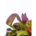 Venus flytrap 'Dionaea muscipula 'Hot kiss'