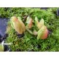Venus flytrap 'Dionaea muscipula 'Hot kiss' 'Starter'