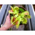 Venus flytrap 'Dionaea muscipula 'Hulk'