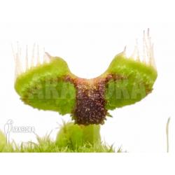 Dionaea muscipula 'Intrudor'
