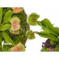 Venus flytrap 'Dionaea muscipula 'Intrudor vs Pom Pom''