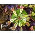 Venus flytrap Dionaea muscipula 'Ivory'