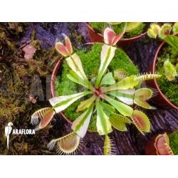 Dionaea muscipula Ivory
