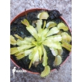 Venus flytrap Dionaea muscipula 'Ivory King'
