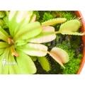 Venus flytrap Dionaea muscipula 'Ivory Queen'