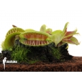 Venus flytrap 'Dionaea muscipula 'Jaws smiley'