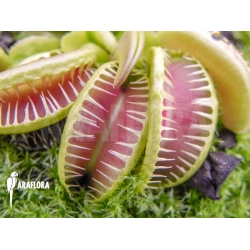 Dionaea muscipula 'Jaws smiley crested'