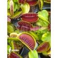 Venus flytrap Dionaea muscipula 'Jumbo'