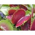 Venus flytrap Dionaea muscipula 'Jumbo' 'XL'
