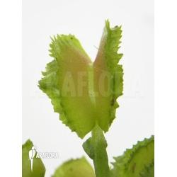 Dionaea muscipula 'Kinky Wave'