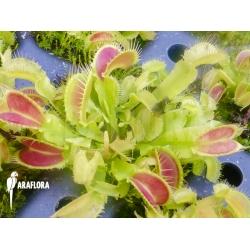 Dionaea muscipula 'Korrigans'