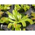 Venus flytrap Dionaea muscipula 'Korrigans' 'Starter'
